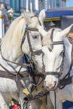 Dos caballos blancos hermosos en arnés Imagen de archivo libre de regalías