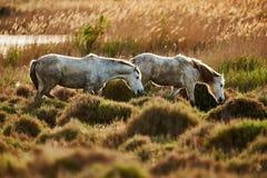 Dos caballos blancos jovenes de Camargue Fotografía de archivo libre de regalías