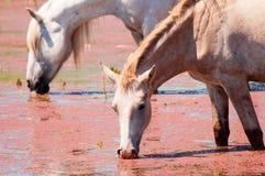Dos caballos blancos que beben el agua cubierta con las plantas acuáticas Foto de archivo