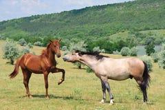 Dos caballos cómodos Fotos de archivo libres de regalías