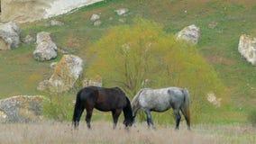 Dos caballos coloridos comen la hierba con sus cabezas arqueadas almacen de video