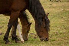 Dos caballos comen la hierba imagenes de archivo