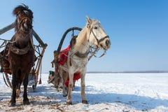 Dos caballos con el freno y el arnés en el campo Foto de archivo
