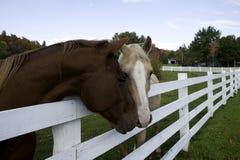 Dos caballos con la cabeza sobre la cerca Imagen de archivo