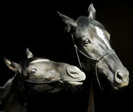 Dos caballos con un resplandor blanco en la cabeza con el halter se están colocando uno al lado del otro en un fondo negro Foto de archivo libre de regalías