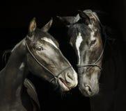 Dos caballos con un resplandor blanco en la cabeza con el halter se están colocando uno al lado del otro en un fondo negro Fotografía de archivo