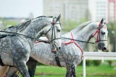 Dos caballos dappled gris del trotón que caminan en arnés Imágenes de archivo libres de regalías