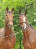 Dos caballos de bahía Fotografía de archivo