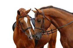 Dos caballos de bahía Foto de archivo libre de regalías