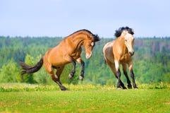 Dos caballos de bahía que juegan en el prado Fotos de archivo