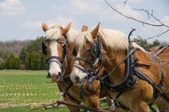 Dos caballos de bosquejo Imagenes de archivo