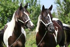 Dos caballos de la pintura con los halter Imagen de archivo libre de regalías