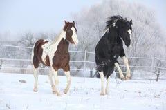 Dos caballos de la pintura que juegan en invierno Fotografía de archivo