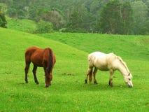 Dos caballos de pasto en un prado Fotografía de archivo