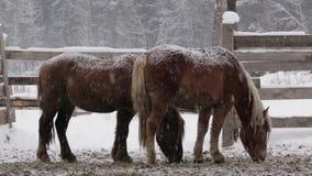 Dos caballos debajo de la nieve en la granja en el invierno frío metrajes