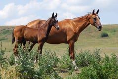 Dos caballos del akhal-teke Foto de archivo