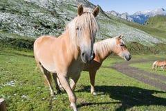 Dos caballos del haflinger Fotos de archivo