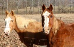 Dos caballos desaliñados pastan en un campo Fotografía de archivo