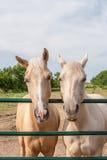 Dos caballos divertidos Fotografía de archivo
