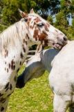 Dos caballos en amor Imagenes de archivo