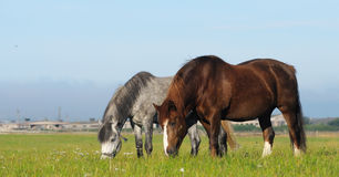 Dos caballos en campo Fotos de archivo libres de regalías