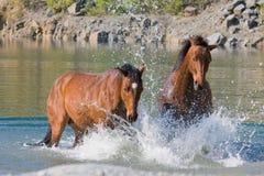 Dos caballos en el agua Imágenes de archivo libres de regalías