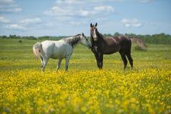 Dos caballos en el prado Imágenes de archivo libres de regalías