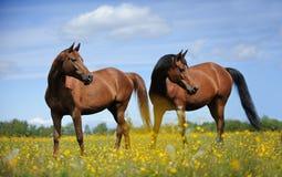 Dos caballos en el prado Imagen de archivo libre de regalías
