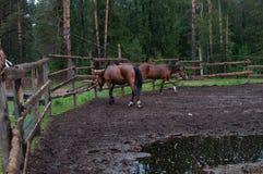 Dos caballos en el prado para un paseo fotografía de archivo libre de regalías