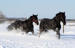 Dos caballos en la nieve blanca Foto de archivo libre de regalías