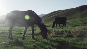 Dos caballos en la puesta del sol que comen la hierba almacen de metraje de vídeo