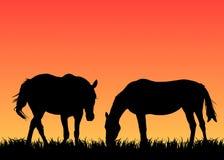 Dos caballos en pasto en la puesta del sol Fotos de archivo