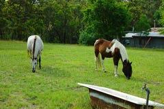 Dos caballos en prado que comen la hierba Pequeña granja con el campo y caballos en el patio trasero en el campo australiano Fotos de archivo