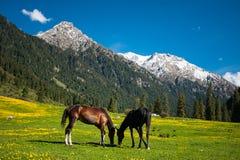 Dos caballos en un campo de la montaña imágenes de archivo libres de regalías