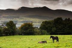 Dos caballos en un campo en el anillo de Kerry, Irlanda fotos de archivo