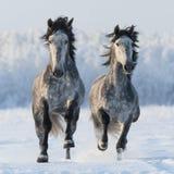Dos caballos españoles galopantes Foto de archivo libre de regalías