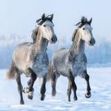 Dos caballos españoles galopantes cerca para arriba Foto de archivo libre de regalías