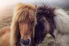Dos caballos feroeses imagen de archivo