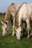 Dos caballos grises en un prado Fotos de archivo libres de regalías