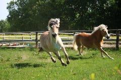 Dos caballos hermosos est?n corriendo en el prado en la sol imagenes de archivo