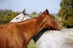 Dos caballos hermosos que juegan con uno a en un campo verde encendido Foto de archivo