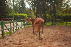 Dos caballos jovenes en el pasto Fotografía de archivo libre de regalías