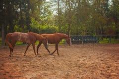 Dos caballos jovenes en el pasto Fotografía de archivo