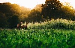 Dos caballos jovenes junto en pradera en verano imagen de archivo libre de regalías