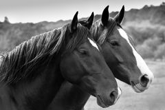 Dos caballos magníficos. Fotos de archivo libres de regalías