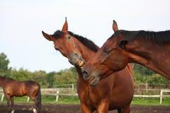 Dos caballos marrones divertidos que bostezan Imagen de archivo libre de regalías