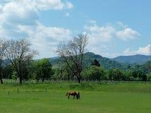Dos caballos marrones en prado verde, árboles, día soleado, cielo azul con las nubes blancas fotografía de archivo