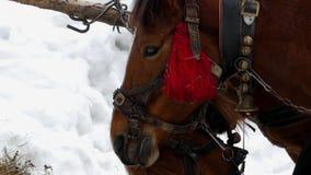 Dos caballos marrones hermosos están comiendo el heno Ciérrese encima del tiro de la cara metrajes