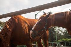 Dos caballos marrones nuzzling a través de un fenc de madera rústico Imágenes de archivo libres de regalías