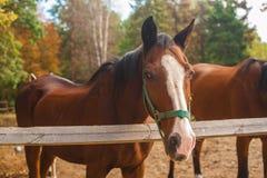 Dos caballos marrones nuzzling a través de un fenc de madera rústico Fotografía de archivo libre de regalías
